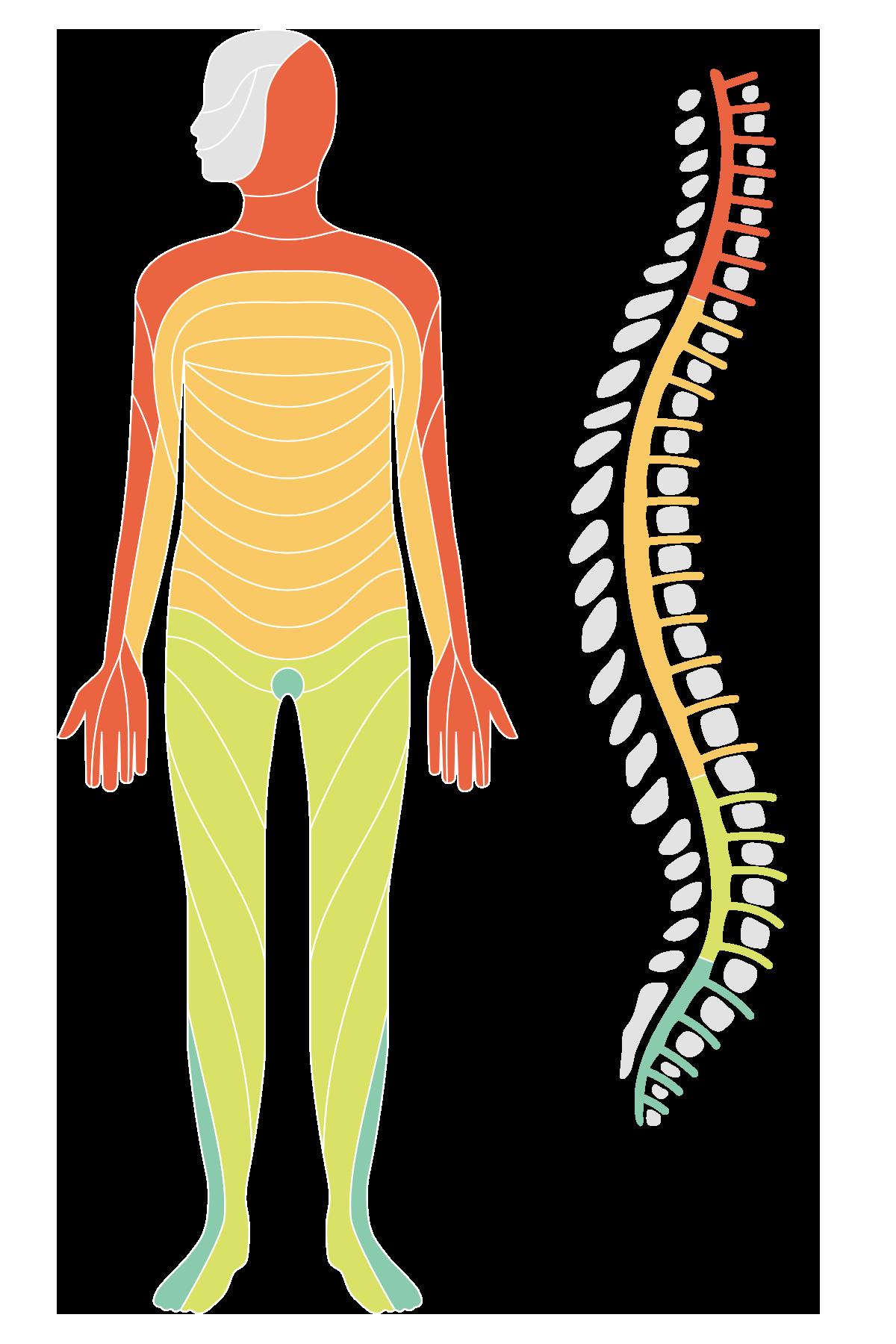 vad består ryggmärgen av